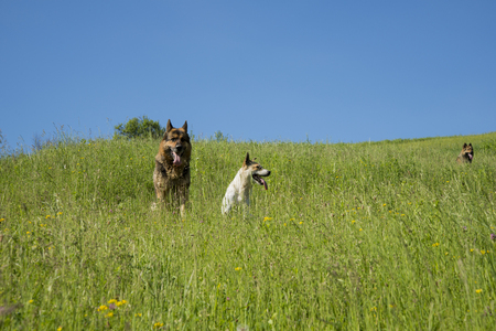 Three dogs resting on a hill in the high grass