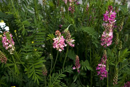 Onobrychis、sainfoins、マメ科のユーラシアの多年生草本、Sainfoins、主に亜熱帯の植物が、その範囲は広がる遠い北と南スウェーデンとしてヨーロッパ。 写真素材 - 79248561