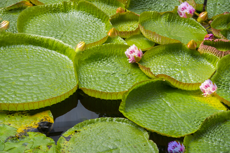 Waterlilies  live as rhizomatous aquatic herbs in temperate and tropical climates around the world. The family contains five genera with about 70 known species