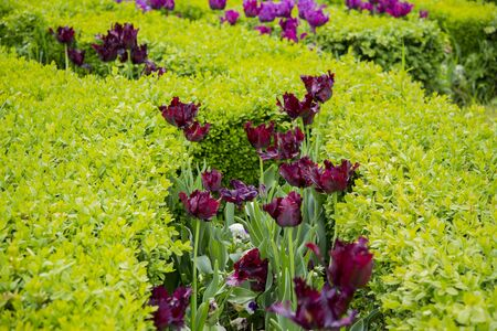 Black tulip. For centuries Dutch tulip growers have searched for this exclusive flower. Recently, a growerhybridizer from the northern part of Holland achieved what no one else had managed to achieve