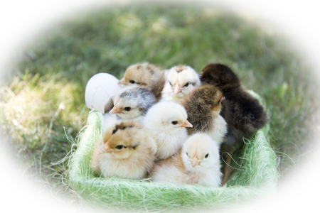 One day chickens in a basket at an organic farm Stock Photo