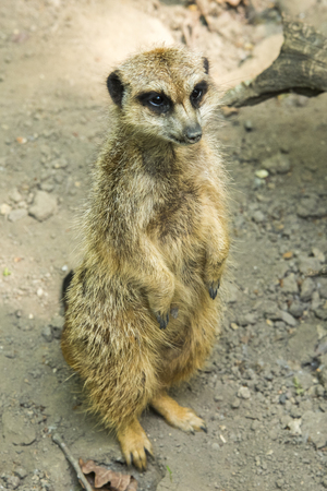 The meerkat or suricate is a small carnivoran belonging to the mongoose family. It is the only member of the genus Suricata. A group of meerkats is called a mob, gang or clan. Stock Photo