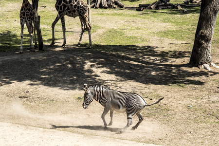Zebras are several species of African equids (horse family) united by their distinctive black and white striped coats. Their stripes come in different patterns, unique to each individual. Standard-Bild