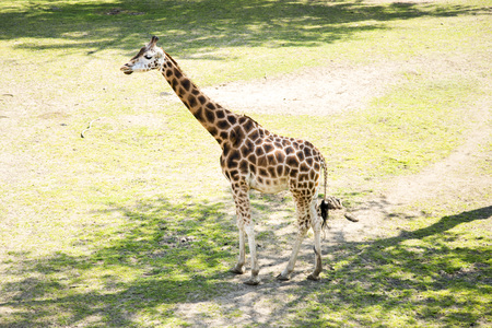 The giraffe (Giraffa) is a genus of African even-toed ungulate mammals, the tallest living terrestrial animals and the largest ruminants. The genus currently consists of one species