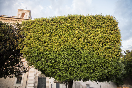 Tree cut in an interesting shape on the street in Rome, Italy 写真素材