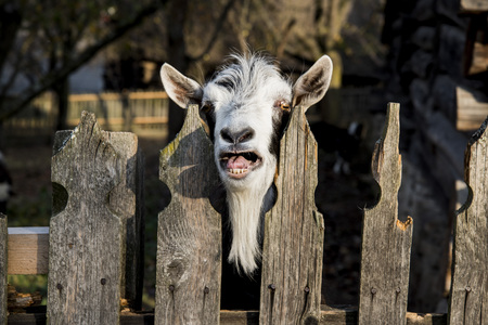 A very nice and funny goat who looks through the fence