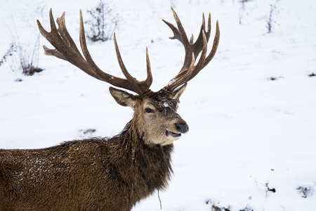 The red deer or the Carpathian deer is found on an area of approximately 1000 km, the area where  the Carpathians lie in Romania. The population is well represented in the  mountains 写真素材