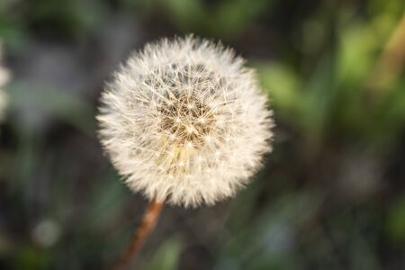 Dandelion fluff in the sun