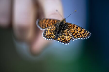 A butterfly named Melitaea phoebe sitting on a boy's finger. The largest Melitaea of the Old World, at least certain of its forms