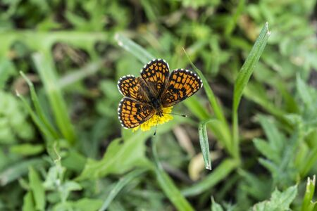 A butterfly named Melitaea phoebe, is the largest Melitaea of the Old World, at least certain of its forms