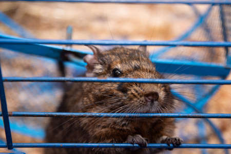 Common degus are highly social. They live in burrows, and, by digging communally, they are able to construct larger and more elaborate burrows. As a pet, the animal is larger than a golden hamster