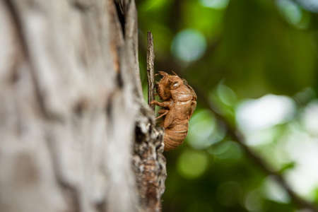 Cicada cast skin or exuviae after the adult cicada has left, from Silo, Krk, Croatia. Summer in Croatian coast is known for the cicadas sounds