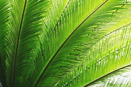 cana: line texture line texture palm leaf.