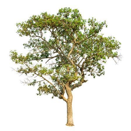 Isolate green tree on white background. Tropical tree and scientific name Dipterocarpus intricatus. 版權商用圖片