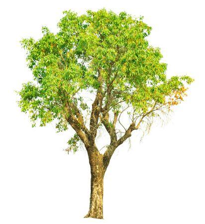 Isolate green tree on white background.Tropical tree and scientific name Dipterocarpus intricatus. 版權商用圖片