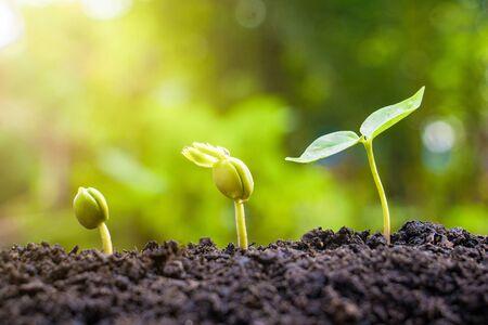Les plantes à graines poussent. Elles poussent étape par étape. L'une a des racines et pousse sous le sol et l'autre graine a des feuilles. Elles poussent au soleil. Photo nouvelle vie et concept de croissance.
