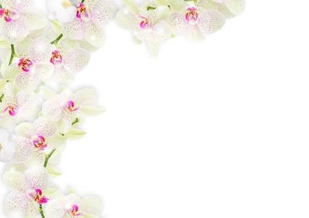 orchids: Confine orchidea fresca