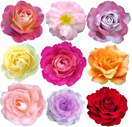 apology: set of 9 roses blooming