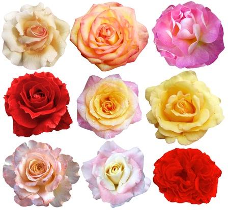 set of 9 roses blooming