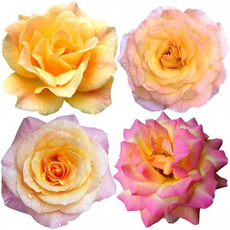 rosas naranjas: juego de 4 rosas amarillas y rosa en flor Foto de archivo
