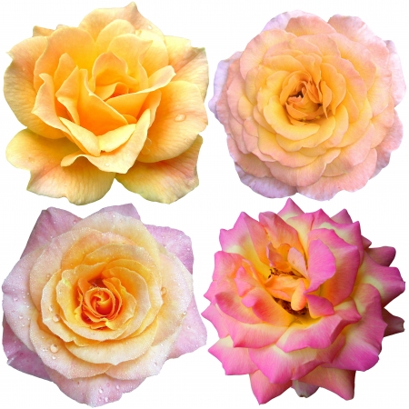 set of 4 yellow  and pink roses blooming