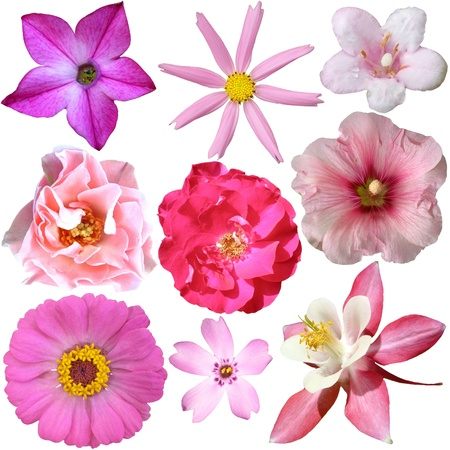collection of pink summer flowers isolated on white  Stock Photo