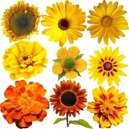dalia: Conjunto de flores anaranjadas y amarillas aisladas en blanco