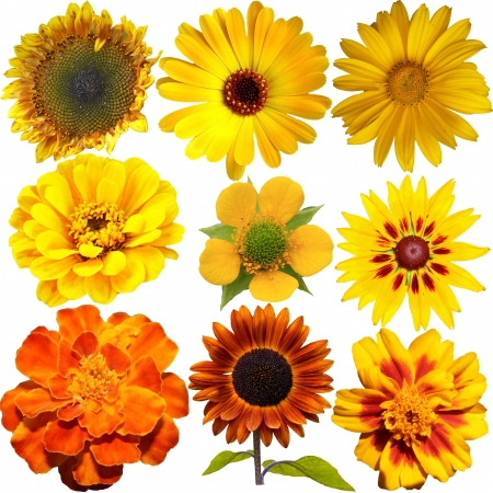 Set of Orange and Yellow  Flowers Isolated on White