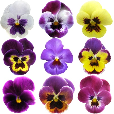 pansy: Pansies on White background