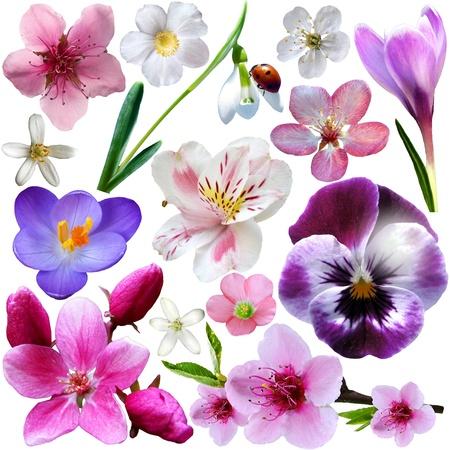 flor de durazno: Colección de flores de primavera aisladas sobre fondo blanco