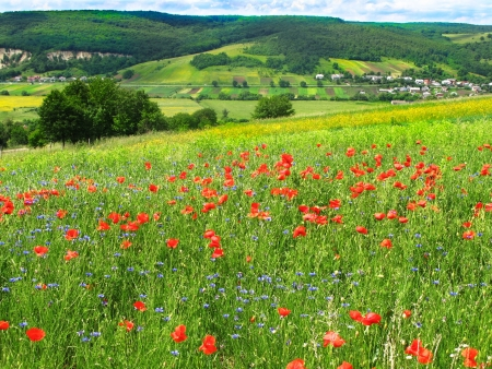 red poppies on green field  photo