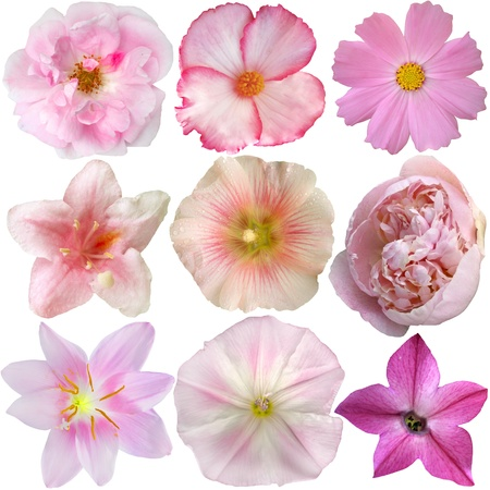 Set of Pink Flowers Isolated on White  Stock Photo