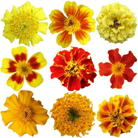 garden marigold: Marigold flowers set on a white background