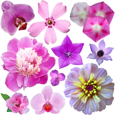 petunia wild: set of summer pink flowers on a white background Stock Photo