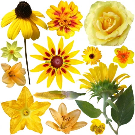 Collection of Yellow Flowers Isolated on White  photo
