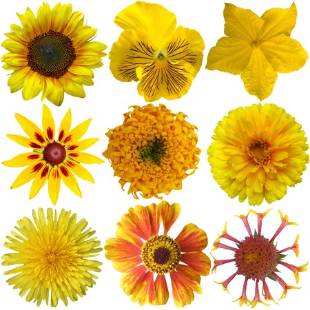 garden marigold: Collage of isolated yellow flowers  Stock Photo