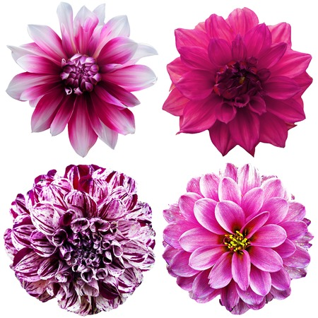 Set of dahlia flower heads isolated on white  photo