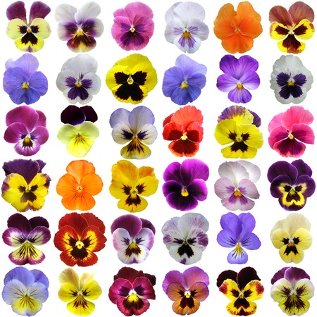 Pansies on White background  photo