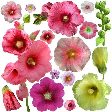 Set of  malva flower on a white background  photo