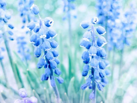 bluebells: spring blue flowers