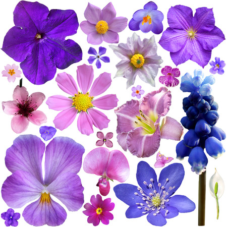 Collection of blue, purple flowers isolated on white background  photo