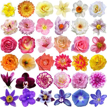 rosas amarillas: Conjunto de cabezas de flores aisladas en blanco