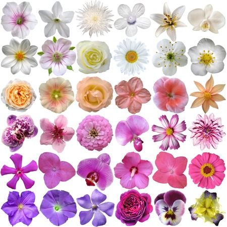 flores moradas: Gran selecci�n de varias flores aisladas sobre fondo blanco Foto de archivo