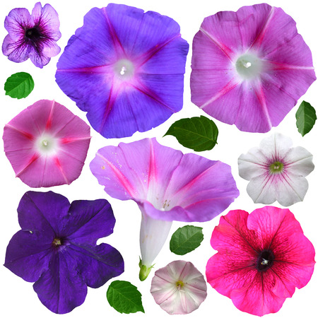 petunia: petunia flowers collection isolated over white background Stock Photo