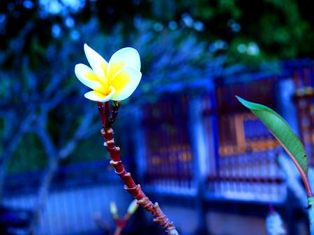 Frangipani flowers alone.