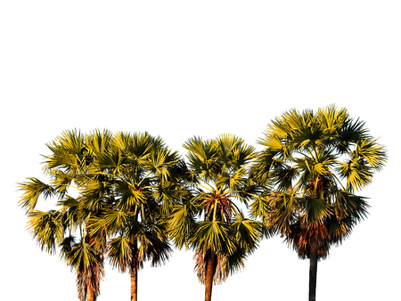 toddy palm: Toddy palm tree isolated. Stock Photo