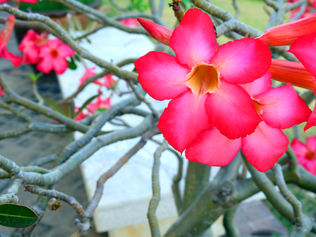 Red impala Lily.