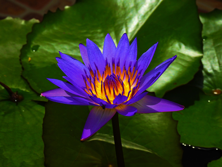 Alone lotus flower. Banque d'images