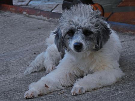 White dog sitting.