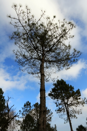 The pine tree at Doi Pha Hom Pok mountain 3 photo